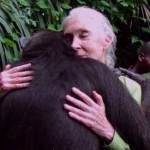 Így köszönte meg a csimpánz amikor megmentői visszajuttatták a vadonba