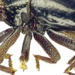 Csubakkának kereszteltek egy újonnan felfedezett bogarat