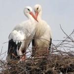 15 éve, minden tavasszal visszatér sérült párjához a hűséges gólya