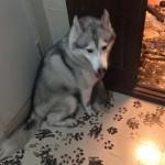 Három óra leforgása alatt kidekorálta az egész lakást egy unatkozó husky