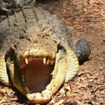 Krokodil vonszolt ki a sátrából egy kempingező férfit Ausztráliában