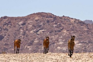 Száz vadló pusztult el Namíbiában a régóta tartó szárazság miatt