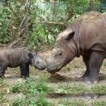 Elpusztult az egyik utolsó szumátrai orrszarvú Borneón
