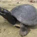 Már csak tíz kambodzsai királyi teknős maradt a vadonban