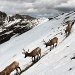 Vándorló szarvasok a Yellowstone Nemzeti Parkban