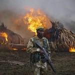 105 tonna, elefántcsontból rakott máglyák lángoltak Kenyában