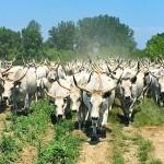 400 magyar szürke szarvasmarhát költöztettek az éves tiszazugi gulyahajtáson [videó]
