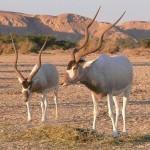 Mindössze három vadon élő példánya maradhatott egy ritka afrikai antilopnak