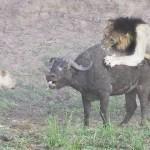 Photo: Meglepő végkimenetelű bivalyvadászatot rögzítettek a Kruger Nemzeti Parkban