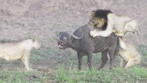 Meglepő végkimenetelű bivalyvadászatot rögzítettek a Kruger Nemzeti Parkban