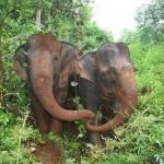 Nem tudta elfogadni legjobb barátja halálát a vak elefánt