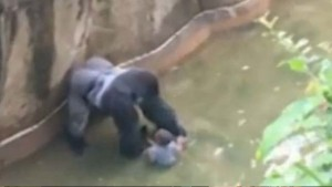 Lelőttek egy állatkerti gorillát, miután beesett hozzá egy kisgyerek
