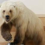 Egyre több grizzly-jegesmedve születik a felmelegedés következtében
