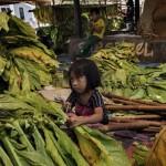 Több ezer gyerekmunkás dolgozik az indonéziai dohányültetvényeken