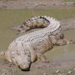 Órákig küzdött egy ausztrál férfi a rátámadó krokodilokkal