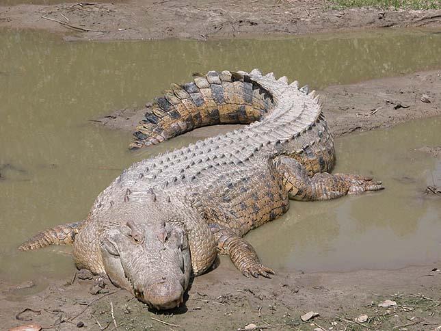krokodil-2