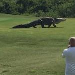 Photo: Öt méteres óriásaligátort filmeztek le egy floridai golfpályán
