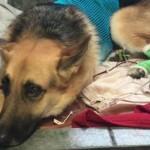 Többször is megmarta egy mérges kígyó a hős kutyát, aki 7 éves gazdáját védelmezte