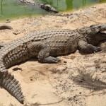 Az emberekre is nagy veszélyt jelentő nílusi krokodilokat találtak a floridai mocsárvidéken