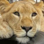 Photo: Minden idők legnagyobb oroszlánmentő akcióját vitte véghez egy állatvédő szervezet