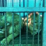 Minden idők legnagyobb oroszlánmentő akcióját vitte véghez egy állatvédő szervezet