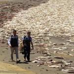 Tömegesen elpusztult tengeri élőlények tetemei sodródnak partra Chilében hónapok óta