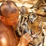 Photo: Az összes tigrist elviszik Thaiföld híres Tigris Templomából