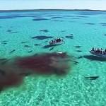Photo: Megdöbbentő videó - hetven tigriscápa falt fel egy bálnát