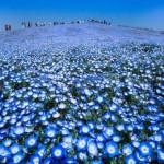 4,5 millió kék virág pompázik egy gyönyörű japán parkban