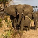 2022-re eltűnhetnek az elefántok egy tanzániai rezervátumból