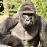 Magasabb korlátot építenek a gorillák köré a cincinnati állatkertben Harambe tragédiája után