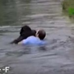 Megható videó – egy bátor férfi mentette meg a fuldokló csimpánz életét