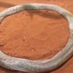Levedlett bőrének fogságába esett egy kígyó