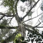 A világ legmagasabb trópusi fáját találhatták meg Malajziában