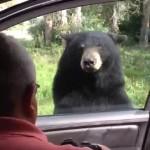 Kocsiajtót kinyitó medve rémisztett meg egy kiránduló családot