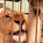Fogságban kell eltöltenie élete hátralévő részét három oroszlánnak, mert embert öltek
