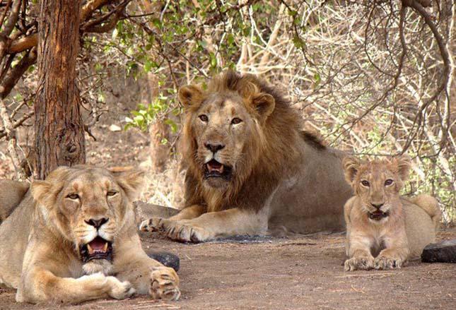 oroszlánok-3
