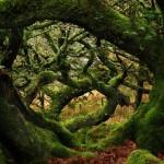 A misztikus Wistman-erdő