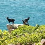 Photo: Időzített méregkapszulával ellátott vadkutyákat vetnek be a kecskék ellen Ausztráliában