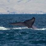 Újabb tömeges bálnapusztulás történt Chile partajinál