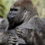 Elszállítása közben elpusztult Bantu, a híres hím gorilla