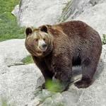 Lelőttek egy szökni próbáló barna medvét a bajmóci állatkertben