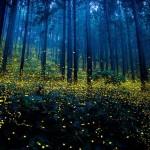 Mesevilággá varázsolták a japán erdőket a párjukat kereső szentjánosbogarak