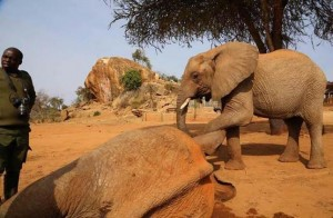 Régi barátja nyugtatta a mérgezett nyíllal meglőtt elefántot