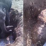 Hosszú órákon át küzdött az elszánt elefántmama, hogy kimentse a gödörbe esett borját