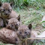 Hiúzok születtek a Veszprémi Állatkertben