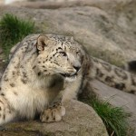 Több példány élhet a világ legtitokzatosabb nagymacskájából, mint eddig vélték
