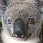"""""""Rendkívüli ritkaság"""" –  felemás szemű koalát találtak Ausztráliában"""