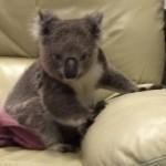 Egy besurranó koala foglalta el egy ausztrál család kanapéját