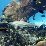 Cápavadászati jog vásárlásával védi a Nagy-korallzátonyt a WWF